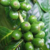 Cayoma Green Coffee